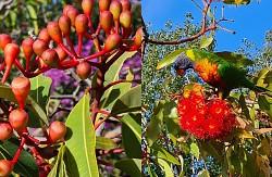 Flowering eucalyptus